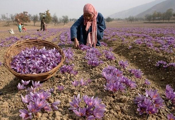 thu hoạch saffron đúng chuẩn